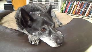 PawShow.com: Zack E. Mann Dog, Blue Heeler, Cattle Dog, Lazy, Sleep...