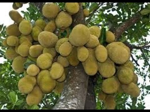 কাঠাল বেশি ধরার কৌশল If you want a tree filling kathal fruit, hope to do this. Hope you succe