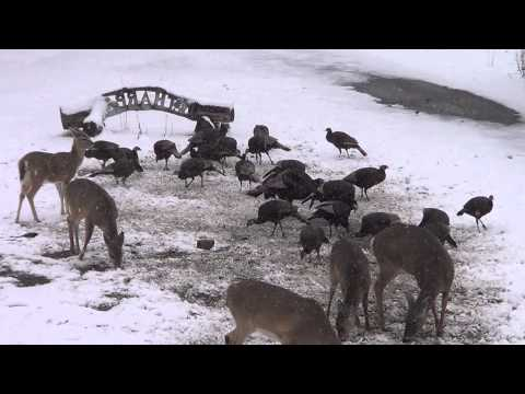 juncos feeding on ground with wild deer and wild turkey in snow storm