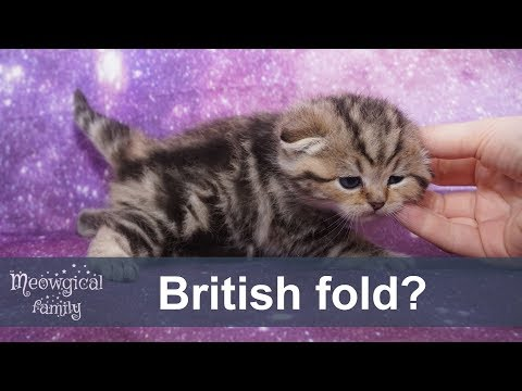 What is the difference between British and Scottish cat breeds?