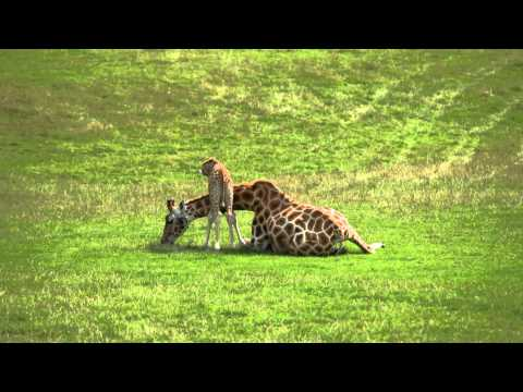 Thumbnail: Baby giraffe cares for mum at Longleat