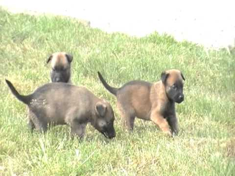 chiots malinois 1 mois - YouTube