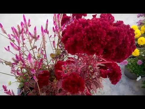 602 - Celosia / Cockscomb को कब और कैसे लगाएं /When & How To Grow Celosia /Cockscomb (Hindi)10/1/18