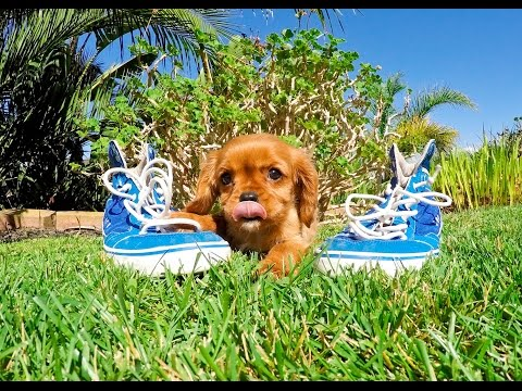 Beckham the Adorable Ruby Cavalier King Charles Spaniel Male Puppy Available in San Diego, CA