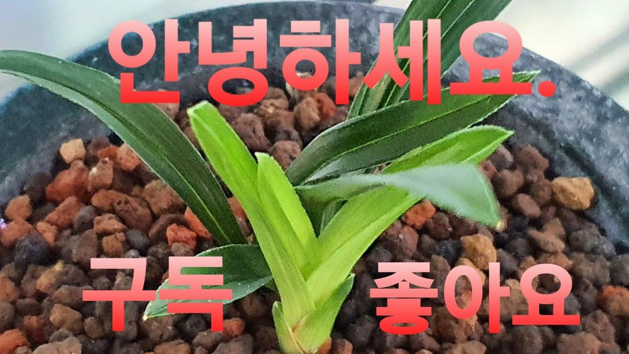 한국춘란 재테크,어떤 품종이 좋을까? 두화변 신아들 성장모습