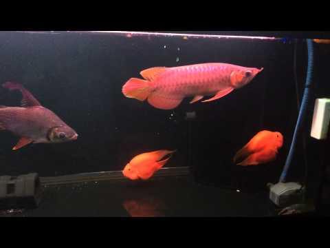 ปลามังกรแดง MuPeat