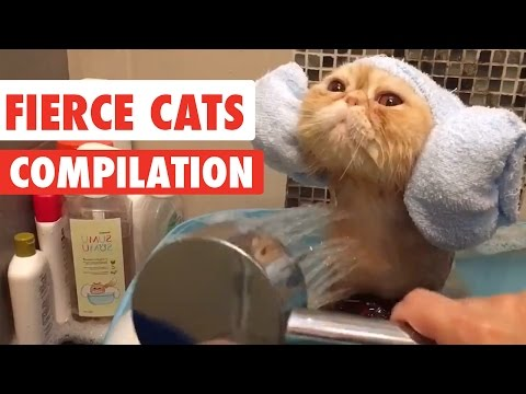 Fierce Cats Video Compilation 2016