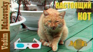 3D stereo red-cyan настоящий кот украл съел кайфую. Из жизни котов.  Мальковский Вадим