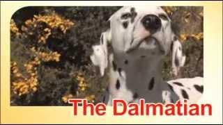 Dalmatinac - Karakteristike Rase I Specifične Potrebe