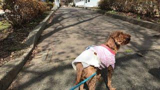 日本一周女ひとり旅274日目。山形県高畠町のまほろばの緑道でワンコと桜と強風Live