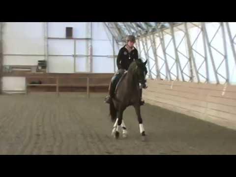 American Morgan Horse doing Dressage
