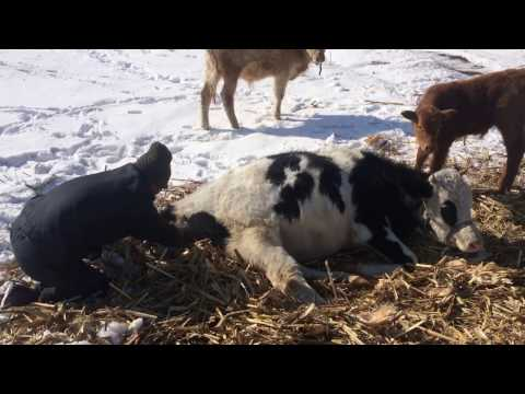 cow-giving-birth-in-cold-winter-with-man's-help