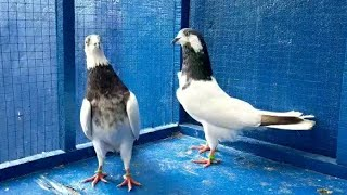 0321 4047154 for sale Pigeons …