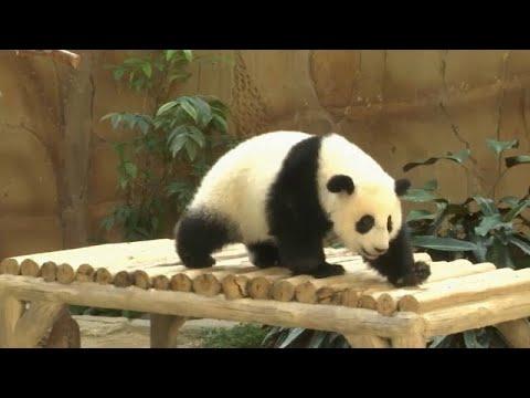 Bébé Panda Fête Son Premier Anniversaire