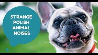 Polish animal noises are strange :) Polskie zwierzęta wydają dziwne odgłosy  :)