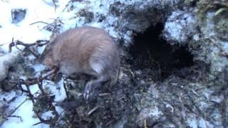 Охота на ондатру зимой видео