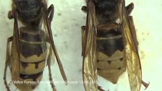 Опасные Насекомые: Коллекция Шершней и Пчелиный Волк, Vespoidea, Kiev Ukraine