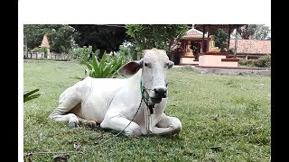 Cow and Buffalo in Prek loung, Kandal Province, Animals in Cambodia