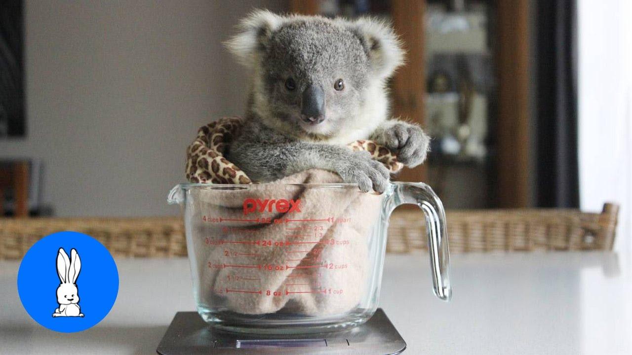 Baby koala bears playing climbing cutest compilation youtube - Pictures of koalas and baby koalas ...