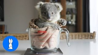 Baby Koala Bears Playing & Climbing - CUTEST Compilation