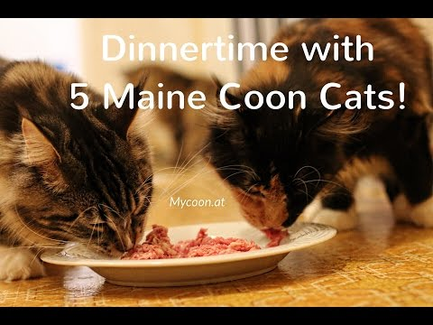 Dinnertime with 5 Maine Coon Cat's [CUTE]