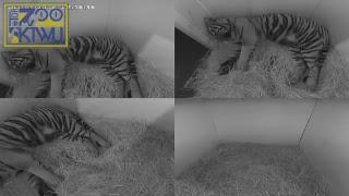 Tiger Cam 1 Indoor #TopZooKTWU thumbnail