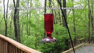 A Short Hummingbird Documentary