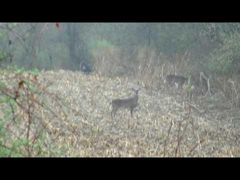 Springtime Turkey & Deer feeding in field