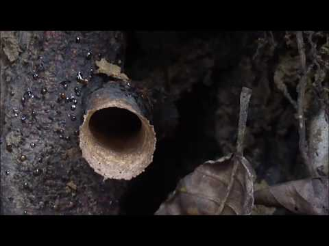Melihat Habitat Asli Lebah Klanceng di hutan Rimba ! kelulut a. lanceng biasa di pindah & di ternak