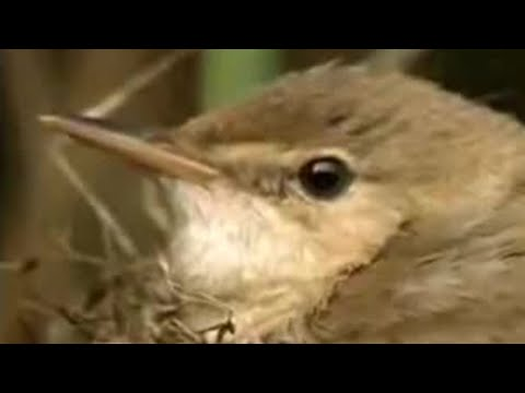 Nature of the cuckoo duck - David Attenborough  - BBC wildlife