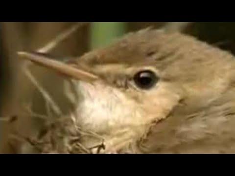 Nature of the cuckoo duck - David Attenborough  - BBC wildlife