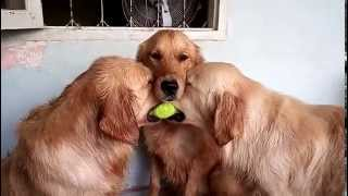 Two Dogs Fighting Over A Tennis Ball - Gif