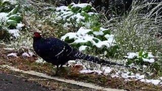 Mikado Pheasant 帝雉(黑長尾雉)雪景中漫步