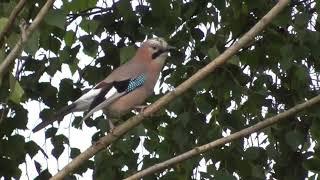 пение птиц (сойка)