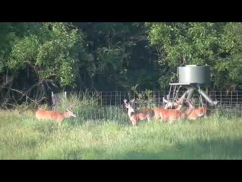 Pennington Creek Hunting Club Deer In Velvet+
