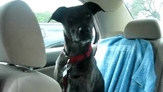 catahoula whines in car