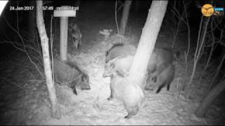 Henia z innymi dzikami w karmisku dla zwierząt dzikich w lesie na Podkarpaciu