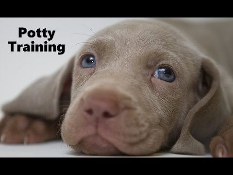 How To Potty Train A Weimaraner Puppy - Weimaraner House Training - Housebreaking Weimaraner Puppies