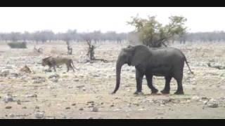 ナミビアのエトーシャ国立公園で見た、ライオンを威嚇する象の群れ.