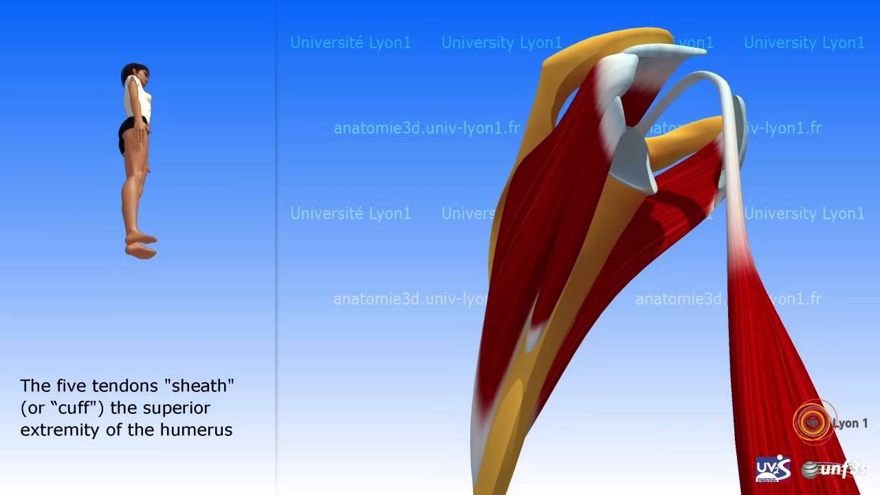 The Rotator Cuff Description Of The Muscles Youtube