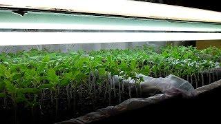 Как вырастить рассаду помидор. Посев семян.
