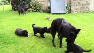 Groenendael puppies playing outside