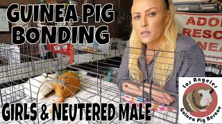 Girl Guinea Pigs and Neutered Male Bonding with Saskia