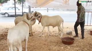 Tabaski 2016: Risque de pénurie de moutons au Sénégal - SenePlus.Com