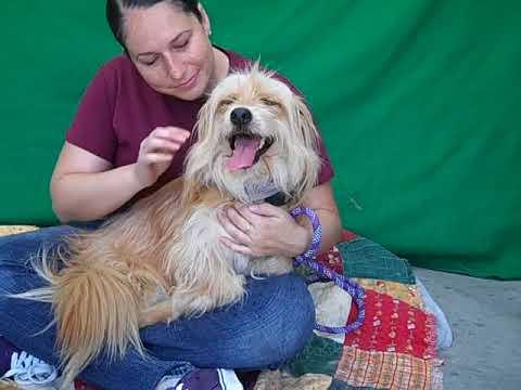 A5153365 Bear | Tibetan Terrier/Cocker Spaniel