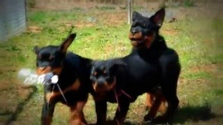 DKV Rottweilers | Rottweiler Puppies For Sale (3L)