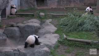 The Giant Panda Cubs