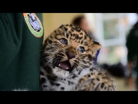 Meet Thrigby Hall's adorable new Amur leopard cubs
