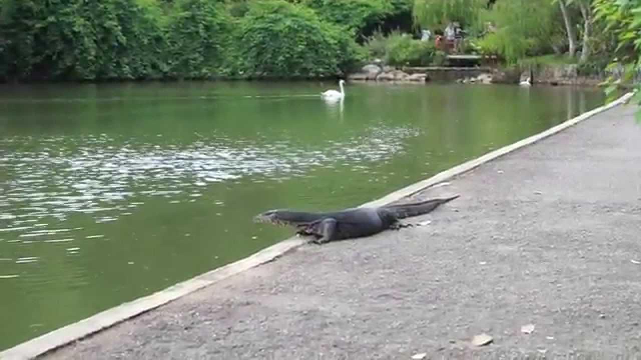 Singapore Botanic Gardens Monitor Lizard Encounter Youtube