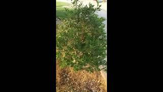 قانون الشجرة